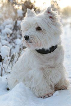 westie west highland white terrier puppy dog
