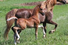 Just like mamma theamericansaddlebred: Affectionut,By Undulata's Nutcracker and out of We Love Lucy Baby Horses, Wild Horses, Most Beautiful Animals, Beautiful Horses, Horse Saddles, Western Saddles, American Saddlebred, Appaloosa Horses, Horse Trailers