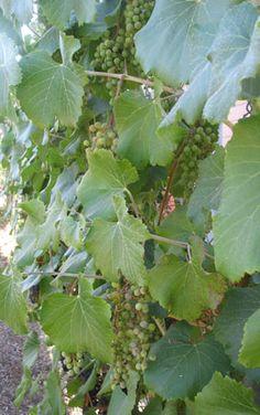 A California grape: Vitis x 'Roger's Red'