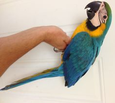 Blue and Gold macaw for sale  www.thebestbird.com Birds For Sale, All Birds, Parrot, Gold, Blue, Parrot Bird, Yellow, Parrots