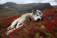 Wolfie resting in wildflowers.