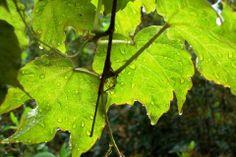 hojas de vid