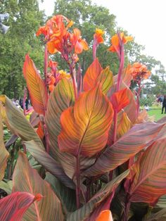 tropicanna cannas splash color all over the mark now... from one gallon pot purchased 6 years ago :)