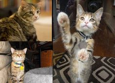 The Different Types Of Tabby Patterns Tabby Cat Cat Care Buy A Kitten