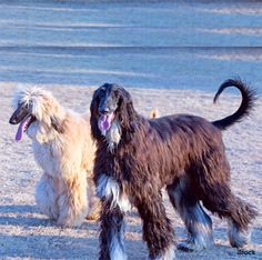 Afghan Hound Dogs are smart.