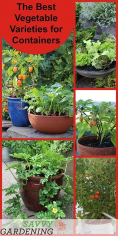 Growing vegetables in containers is an easy way to grow. It's also beautiful and productive. From peas and eggplants to watermelons and tomatoes, discover the best varieties of container vegetable plants for your container garden. Growing Vegetables In Containers, Fall Vegetables, Container Gardening Vegetables, Planting Vegetables, Organic Vegetables, Container Plants, Veggies, Succulent Containers, Container Flowers