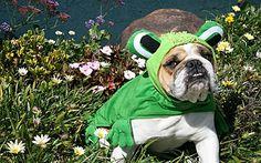 The Bullfrong Bulldog!