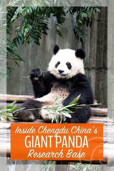 Ever wanted to get up close and personal with Giant Pandas? Here's what it's really like inside Chengdu China's Giant Panda Resarch Base. | Chengdu | Panda Bears | Animal Tourism | Eco Tourism