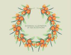 Ознакомьтесь с этим проектом @Behance: «Botanical illustration of sea buckthorn» https://www.behance.net/gallery/23258973/Botanical-illustration-of-sea-buckthorn
