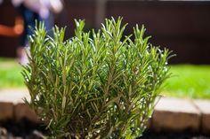 O zdrowotnych właściwościach rozmarynu mówiono już w starożytności. Rozmaryn zawiera mnóstwo przeciwutleniaczy, wspiera pamięć i koncentrację oraz obniża poziom... Plants, Interiors, Plant, Planets