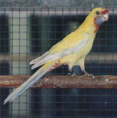Crimson Rosella (yellow mutation)