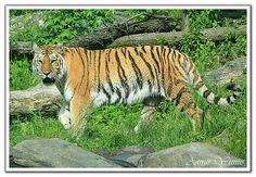 Sumatran Tiger - http://www.1pic4u.com/blog/2014/10/29/sumatran-tiger-10/