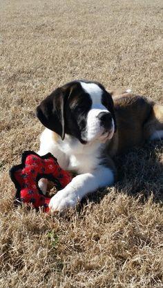 Saint Bernard. Bailey! Little Puppies, Cute Puppies, Cute Dogs, Dogs And Puppies, Doggies, Animals Are Beautiful People, Beautiful Dogs, Big Dogs, I Love Dogs