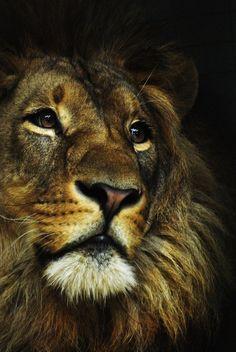 Close up Myself as a lion, lion couple, lion family, lions cub