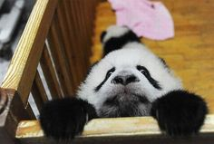 """Get me out of here!""    Source: http://www.thisblogrules.com/wp-content/uploads/2011/02/panda-escape.jpg"