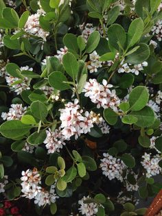 """Raphiolepis Indica Alba """"Indian Hawthorn"""" Option for back garden bed although has a lot of flowers so will attract bees Landscaping Plants, Garden Plants, Farm Gardens, Outdoor Gardens, Flowering Shrubs, Bondi Beach, Garden Fencing, Garden Boxes, Resort Style"""