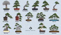 Explicación sobre los estilos de Bonsái sus siluetas y formas ...