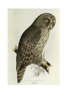 SALE Owls Print by Edward Lear Book Plate SALE by GalleryBotanica