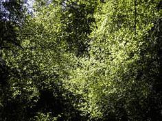 Coprosma rotundifolia
