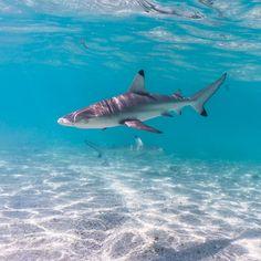 Best Fishing, Kayak Fishing, Reef Shark, Shark Fish, Black Tip Shark, Pink Shark, Shark Photos, Underwater Animals, Shark Tattoos