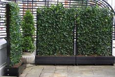 Google Image Result for http://www.eastofedenplants.co.uk/images/design/roof_terrace_gardens/Screen-in-wood-troughs.jpg