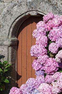 hortensias, chapelle Saint-Egarec, Kerlouan, finistère, bretagne (Vous reprendriez bien un petit conte ?)