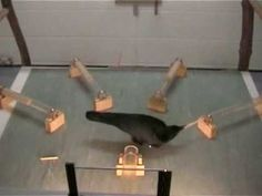 """A crow can solve same problems as a monkey!   """"Sequential tool use by a crow"""". This is importantly mainly because most definitions for 'theory of mind' are satisfied through the completion of these tasks."""