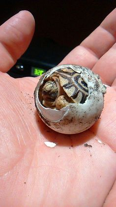 Amazing simply amazing how a hard shelled turtle comes from an egg. he was all liquid at one point. Isn't the Creator incredible?