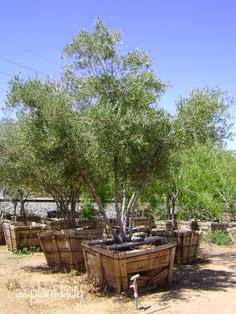 swan hill olive tree - Google Search