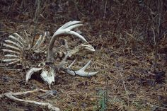 Shed hunting provides you with an amazing opportunity to spend some time outdoors during the late winter months and really begin to take inventory of your deer herd. Big Whitetail Bucks, Deer Steak, A Beautiful Lie, Animal Skeletons, Deer Hunting Tips, Bow Hunter, Shed Antlers, Animal Bones, Deer Skulls