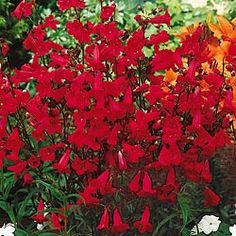 Red Penstemon. Full sun to partial shade.