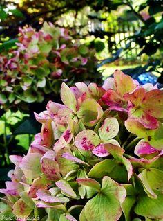 hortensien garten strauch pflegetipps blau lila farbe dekoration pinterest hortensien. Black Bedroom Furniture Sets. Home Design Ideas