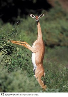 The Gerenuk - Animals You Never Knew Existed - Pet ideas, endangered, rare animals, cute pets