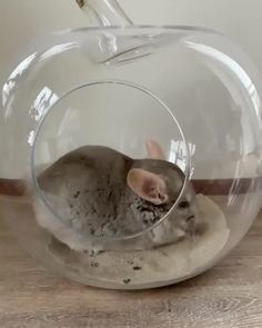 Chinchillas, Hamsters, Rodents, Cute Little Animals, Cute Funny Animals, Cute Dogs, Chinchilla Cute, Baby Hamster, Degu