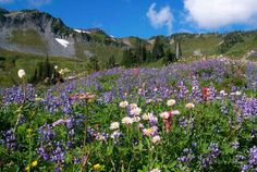 WILDFLOWERS from the Rocky mountains