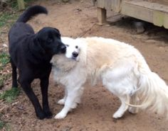 These are Flossie - 5 yr old Golden Retriever & Henry - 5 yr old Labrador Retriever. They have spent the last 5 yrs tied to a swing set. When their owner was going to get rid of them a neighbor asked to take them & turned them over to rescue. They are spayed & neutered & are current on vaccinations. They are bonded & would like to be adopted together. Adopt A Golden Birmingham, AL. http://www.adoptagoldenbirmingham.com/orphans_detail.asp?id=248