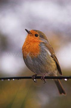 Proud Robin - British Wildlife I Like Birds, Cute Birds, Pretty Birds, Small Birds, Little Birds, Colorful Birds, Beautiful Birds, Bird Pictures, Animal Pictures