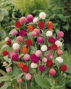 Gomphrena Buddy Series Mix Annual Seeds