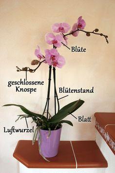 Bestandteile einer Phalaenopsis  http://www.orchideen-pflegen.de/die-orchidee.htm