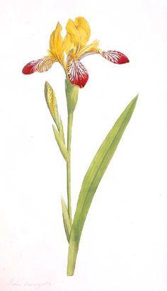 Vintage Printable at Swivelchair Media - Beta | Botanical – Irises, various