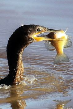 #Cormorant with a successful catch! Photo by #DJCraig