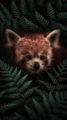 Funny Animals, Cute Animals, Red Panda, Nature Animals, Brown Bear, Fox, Poster Prints, Pets, Wallpaper