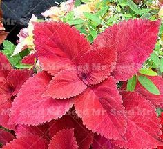 100pcs Janpanse Bonsai Rare Coleus Seeds Flower Seeds Beautiful Foliage Plants Perfect Color Rainbow Dragon Seeds Easy To Grow