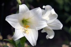 Beautiful - and POISONOUS TO CATS.  If you have a cat, it's best not to bring a lily plant into your living space.