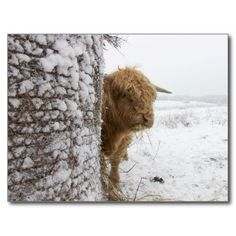 Highland Bull Postcard USE CODE: JULYHOLIDAYZ for 60% off for the postcards!