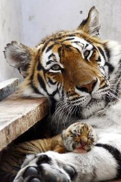 Mama and the tiniest tiger ever!! I can't get over that little mister. :)