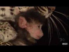 ▶ Un léopard bouffe un singe et adopte son petit - YouTube.mp4 - YouTube
