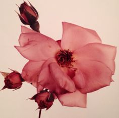 From our well-loved copy of Irving Penn's Flowers