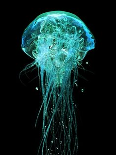 Neon Jellyfish, Aequorea victoria, contains Green Fluorescent Protein (GFP). A gene often used in cloning organisms.