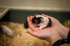 My male guinea pig as a one day old - Łatek